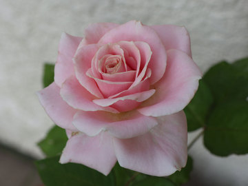 ベリーのバラ.jpg